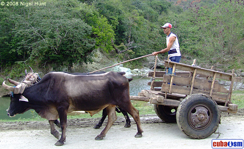 The custom of  riding oxen